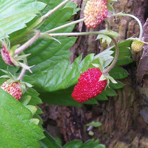 wild strawberry seeds